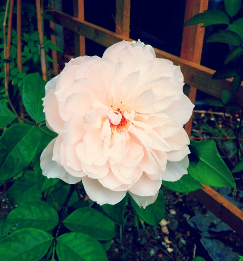 Generous Gardener Rose.jpg